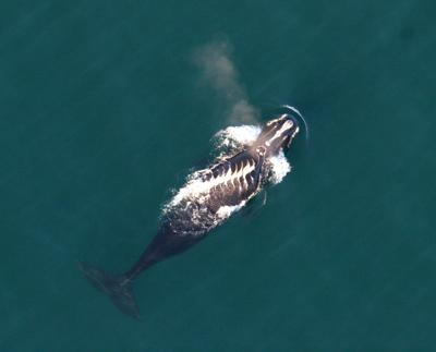 Survey flights search for right whale badly cut by boat propeller