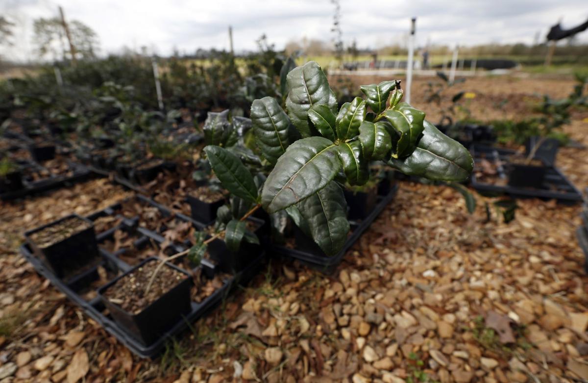 Pricey tea a growing niche crop in U.S.