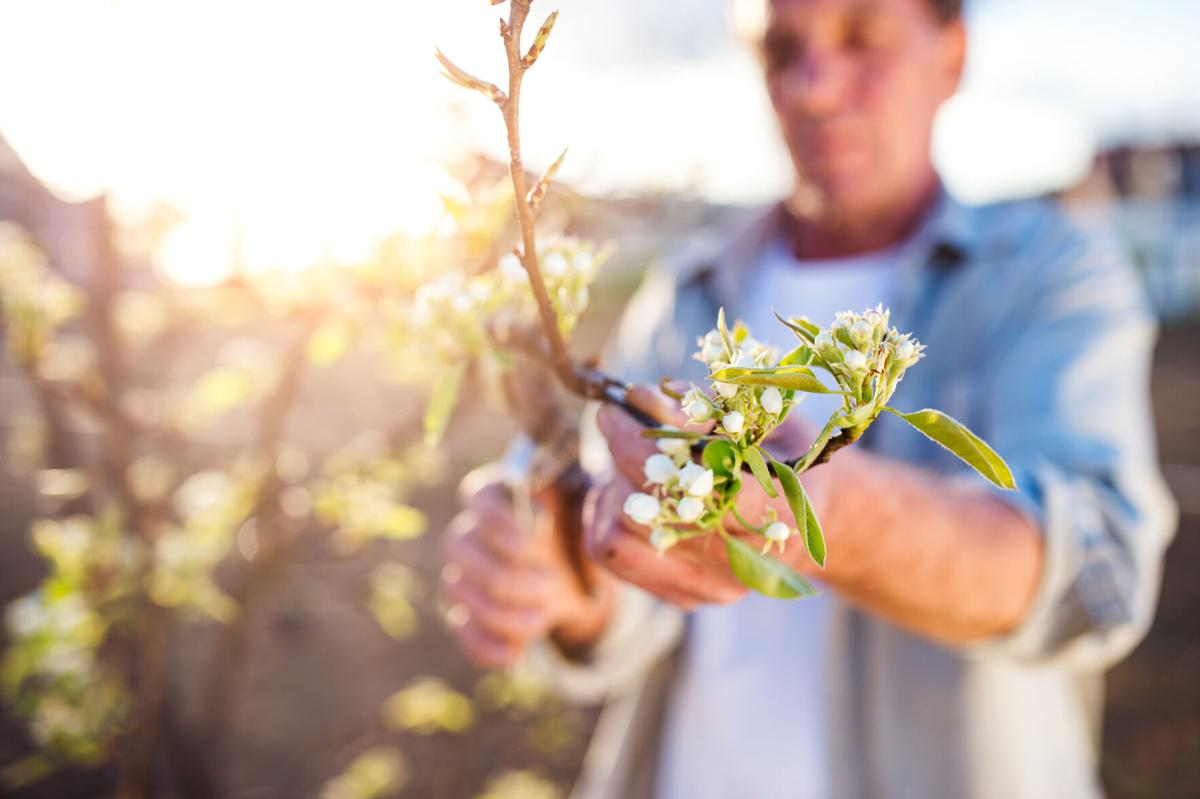 man pruning tree limbs