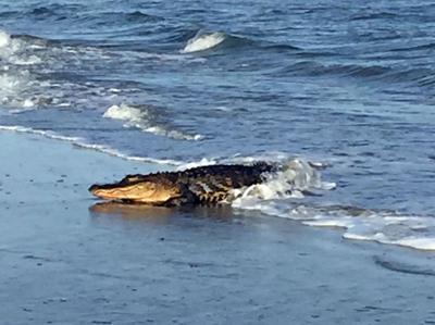 IOP beachgoers surprised by wayward gator