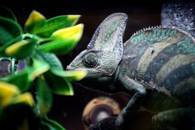 Repticon green chameleon