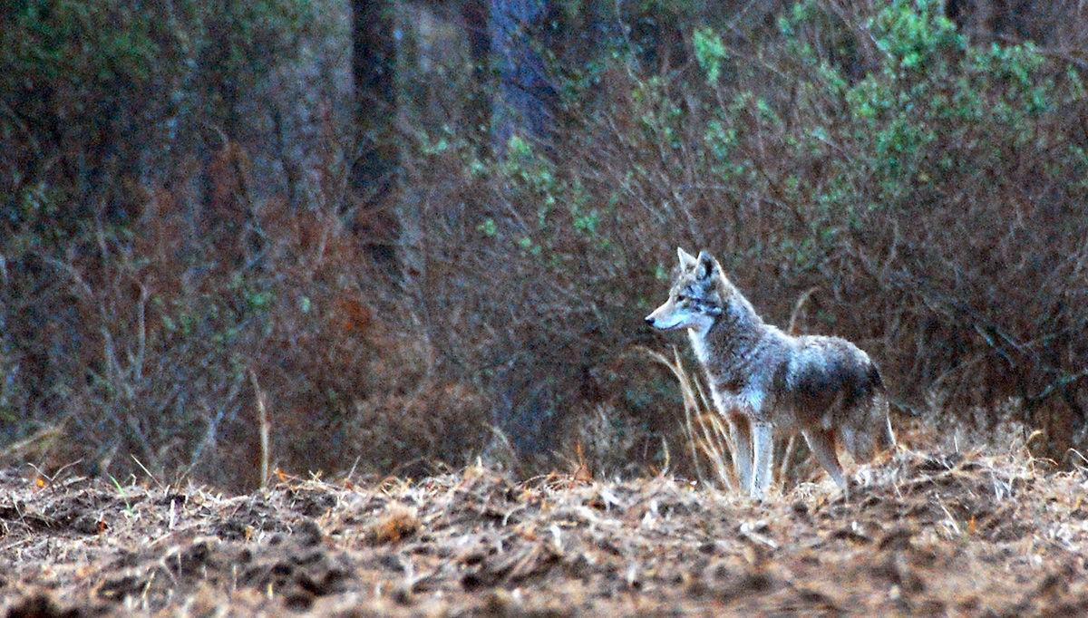 Coyotes: A nuisance we can live with? Invasive canines now just part of landscape Feral hogs' numbers 'a real concern'