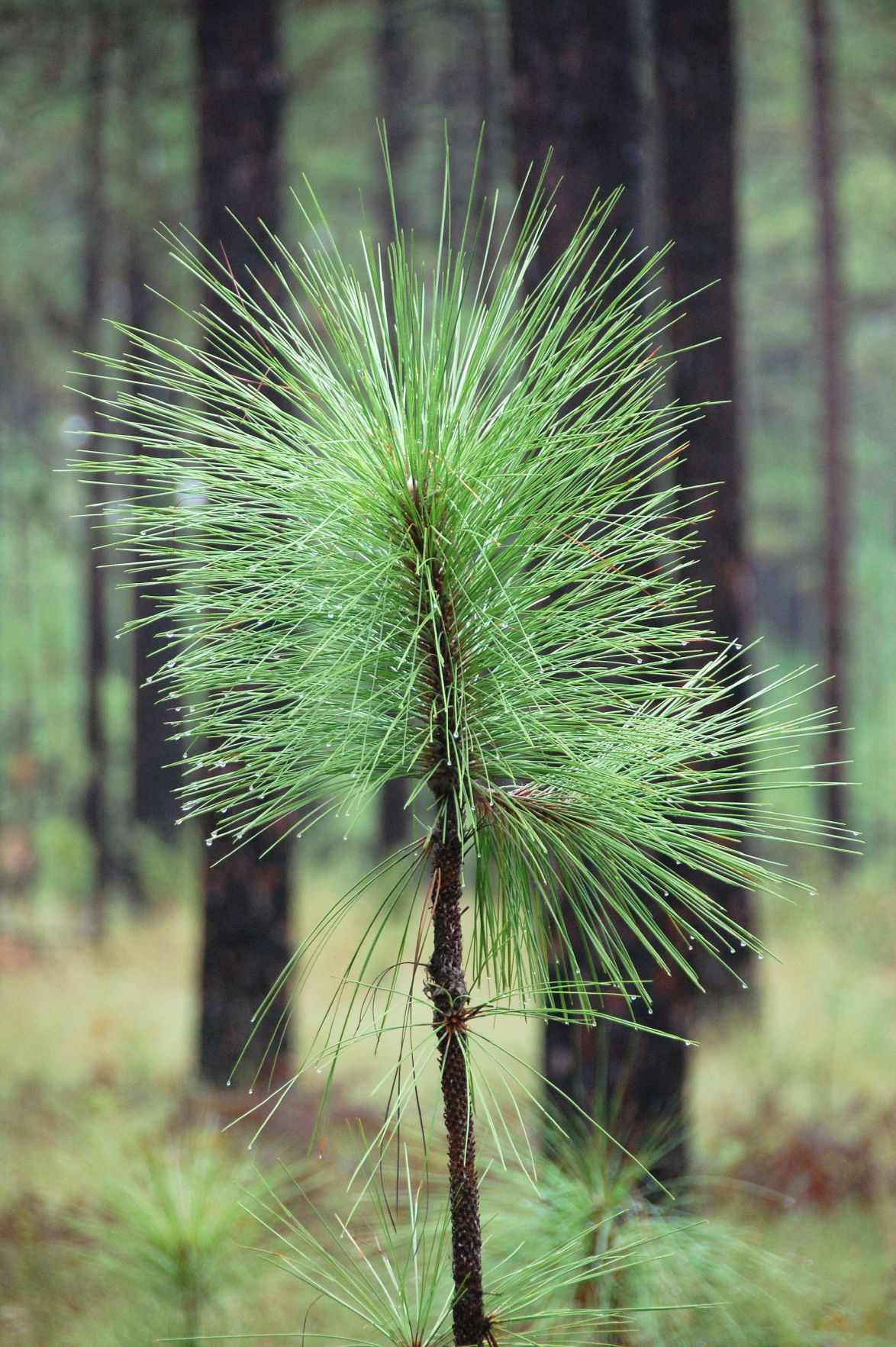 Native longleaf planters win new round of grants