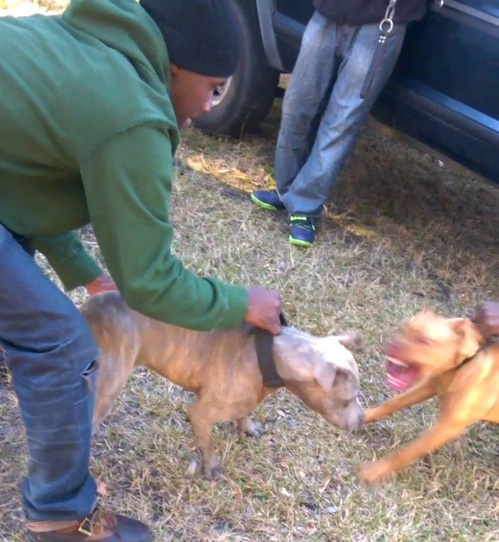 Dog-fighting still lurks in the shadows in the Lowcountry