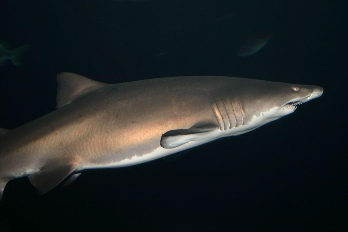 Shark attack injures man off Sullivan's Island