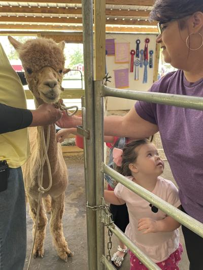 Llamas were the star of the show at Herd it Here Farm