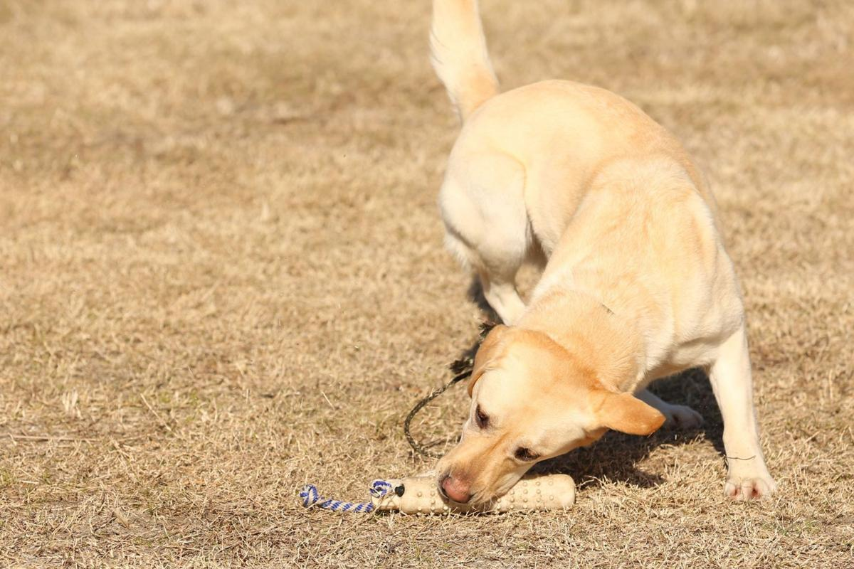 Retrievers, shepherds top dogs in Charleston, AKC says