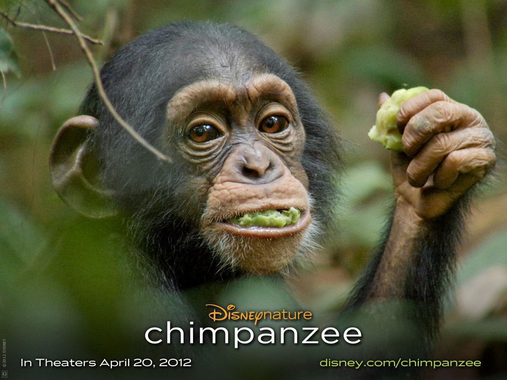 Disney swings for the trees with 'Chimpanzee'