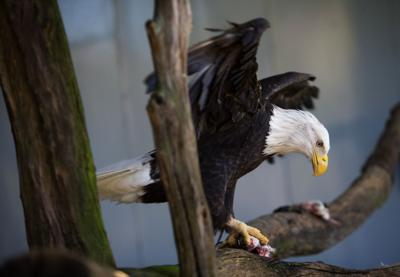 LEDE bald-eagle-file_P_X5283.jpg