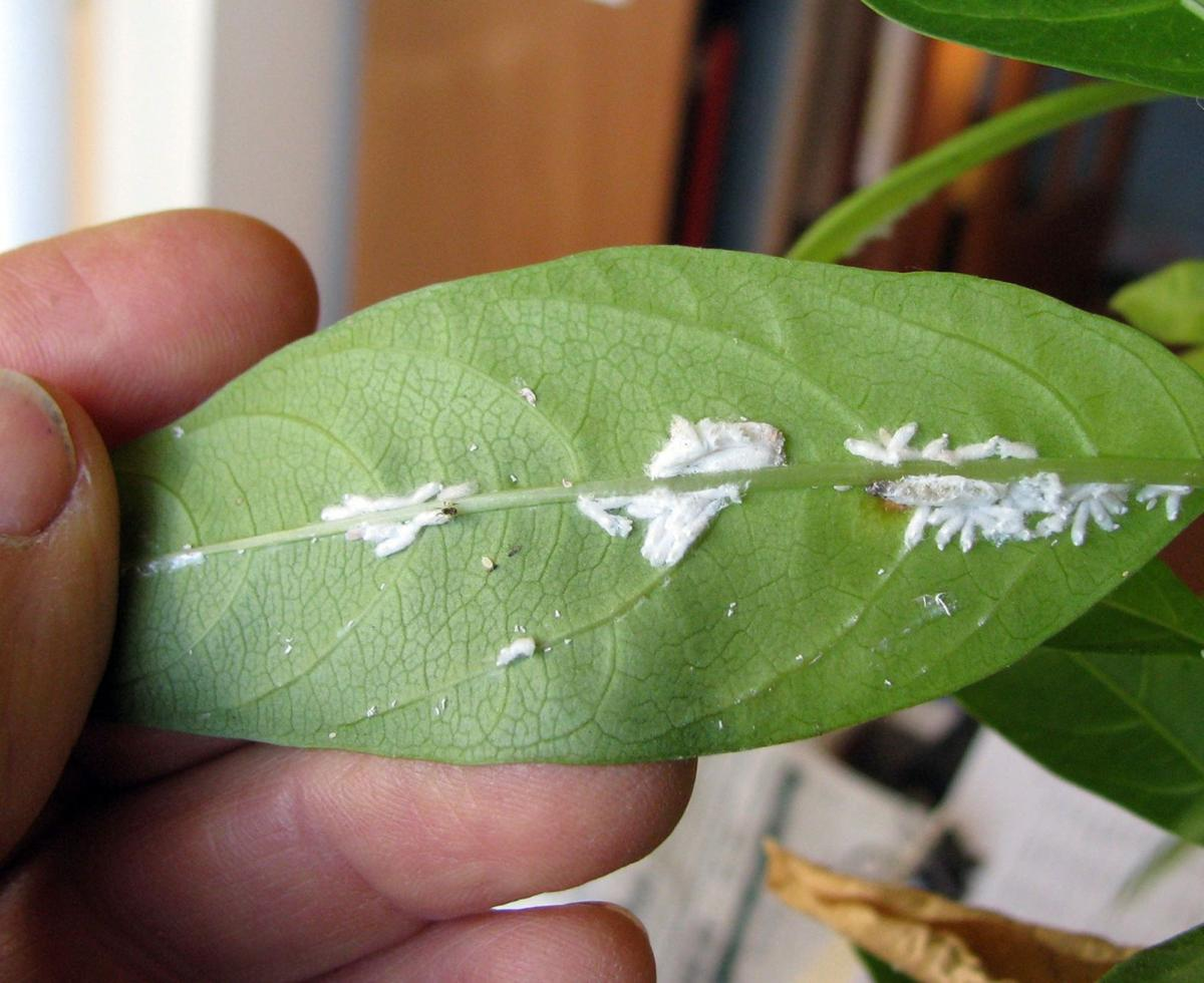 How to thwart pests from damaging plants Learn about habits, life cycles to control houseplant insects instead of using pesticides