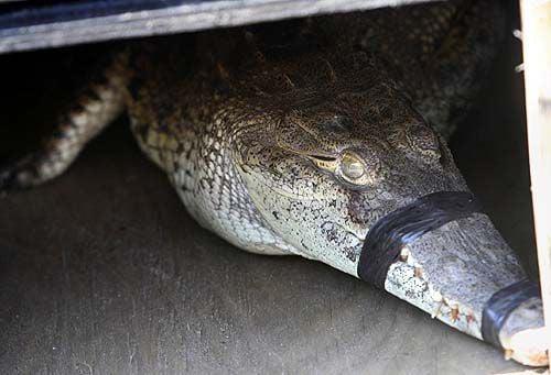Lost crocodile bound for new home