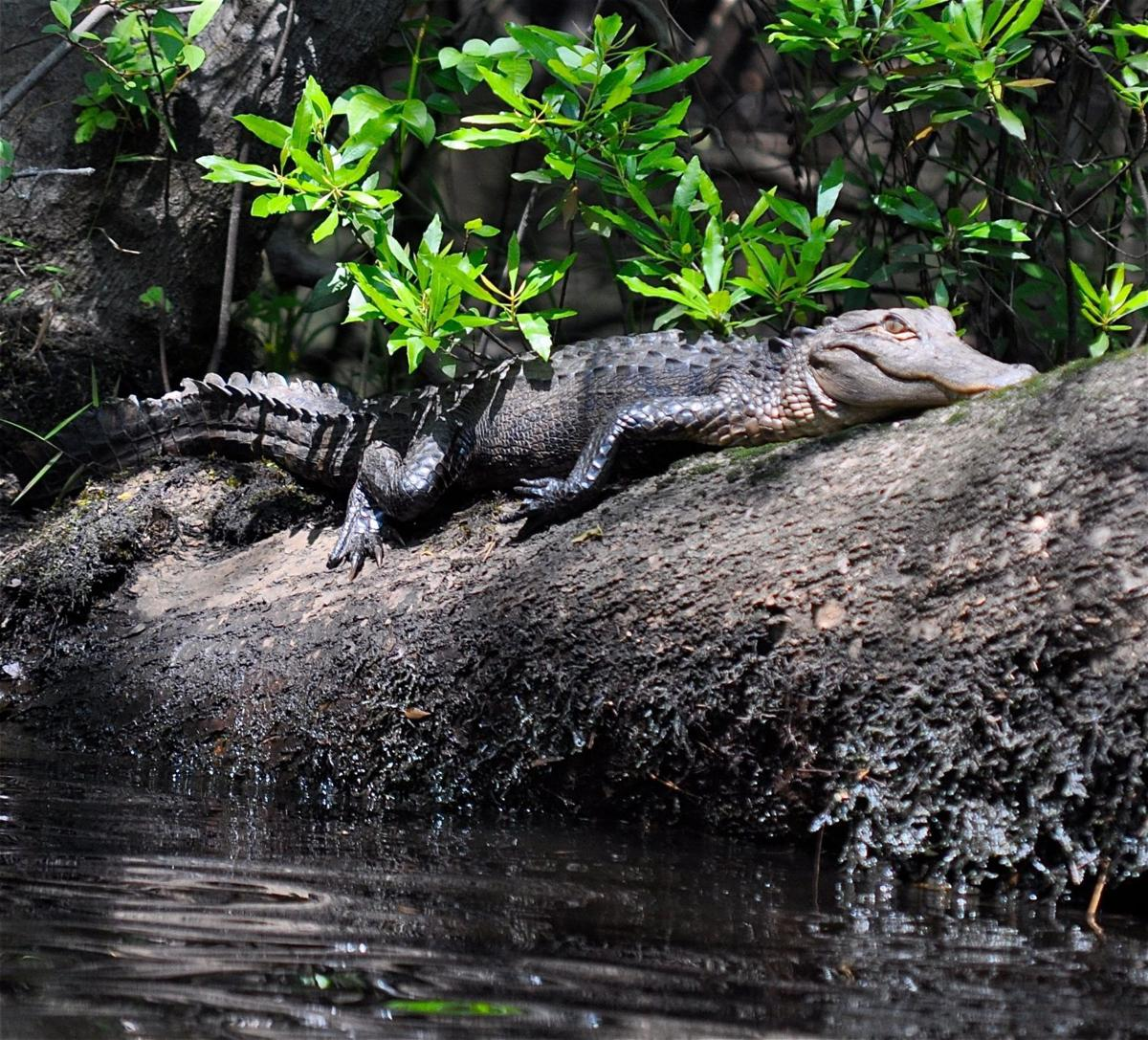 Floating gator carcasses raise hunting questions