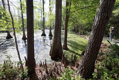 swamp cypress gardens reopening.jpg (copy) (copy)