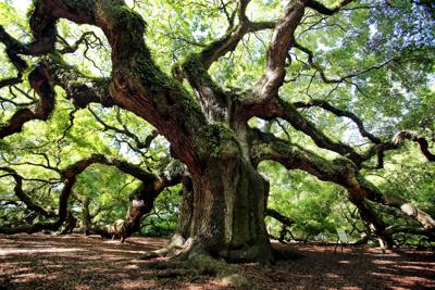 Taking care of the Angel Oak, a grand old lady Johns Island tree estimated to be 400-500 years old