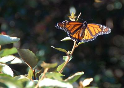 Eyeing the monarch; Lowcountry study underway for threatened butterflies