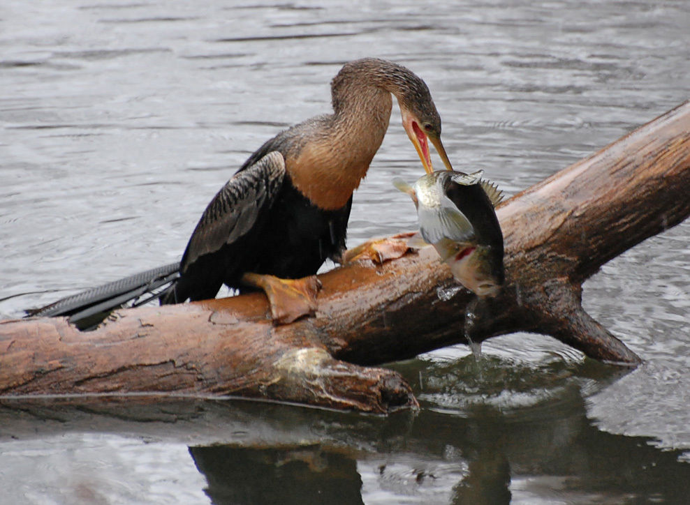 Cormorant 'removal' returns on Marion-Moultrie lakes