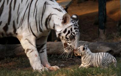 Tiger countries agree to preserve big-cat habitats (copy)