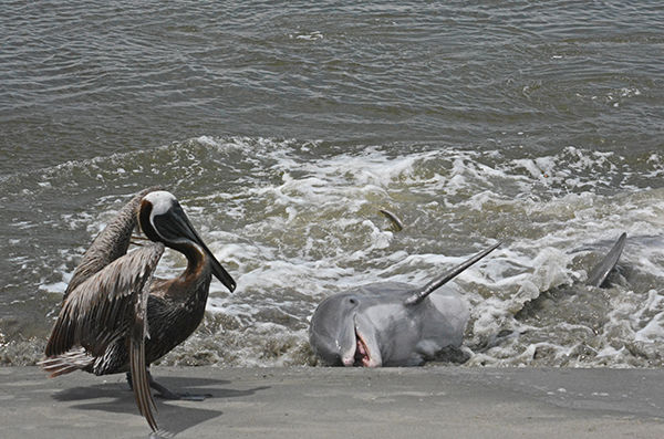 Scott-Nelson Dolphins