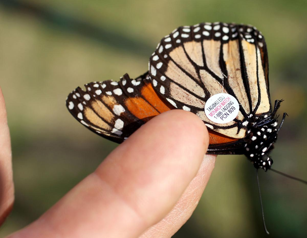 Butterfly watching Enchanting creatures begin fall appearance in Lowcountry