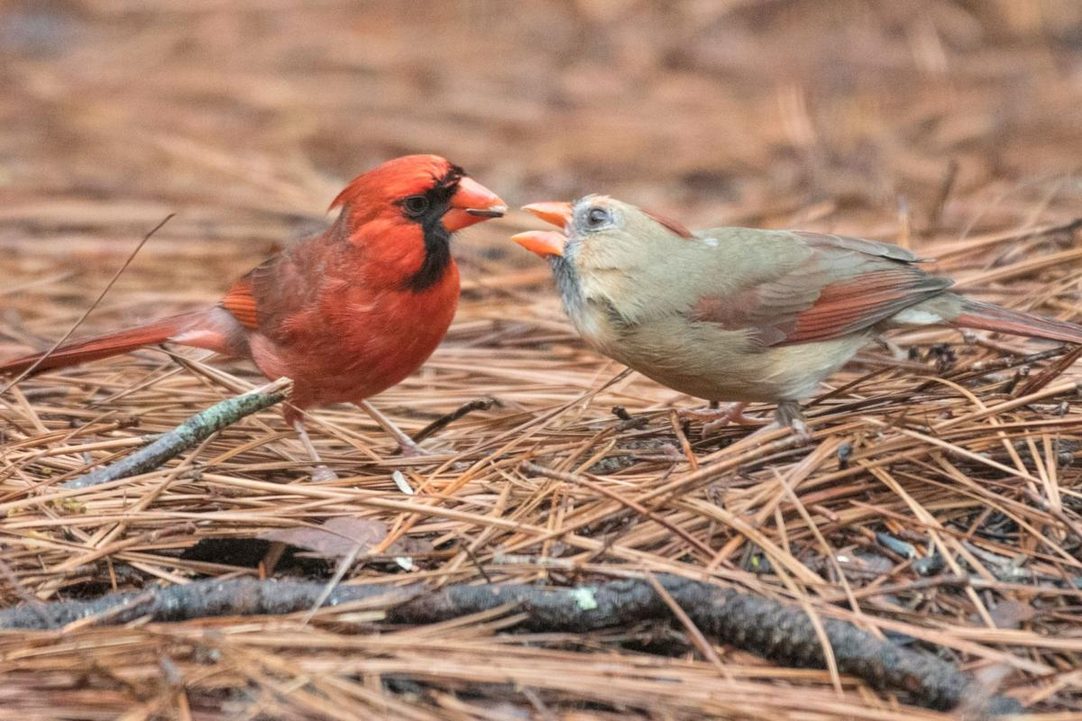 Cardinal feeding THE BEST 2 by Mickey Bell.jpg
