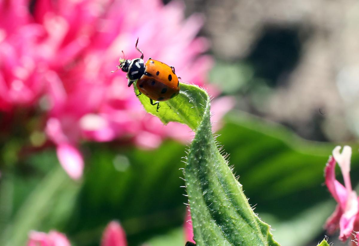 Magnolia Plantation and Garden's Ladybug Release