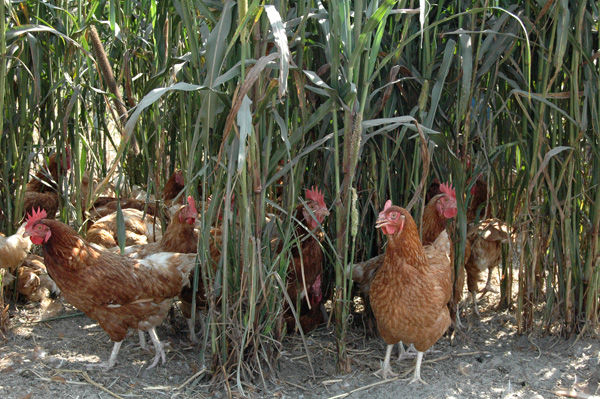 High prices sprout from corn