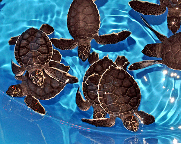 Turtles to get lift to warmwaters