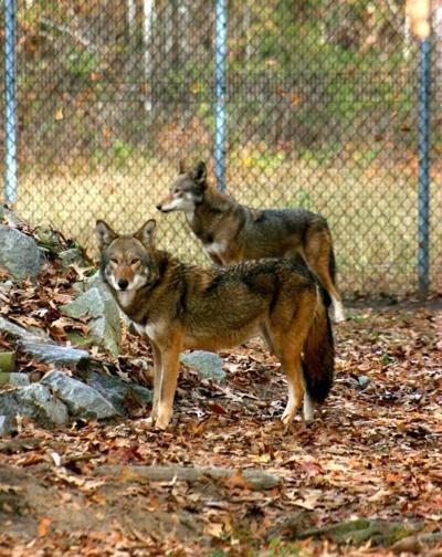 Groups sue in bid to save red wolves (copy) (copy)