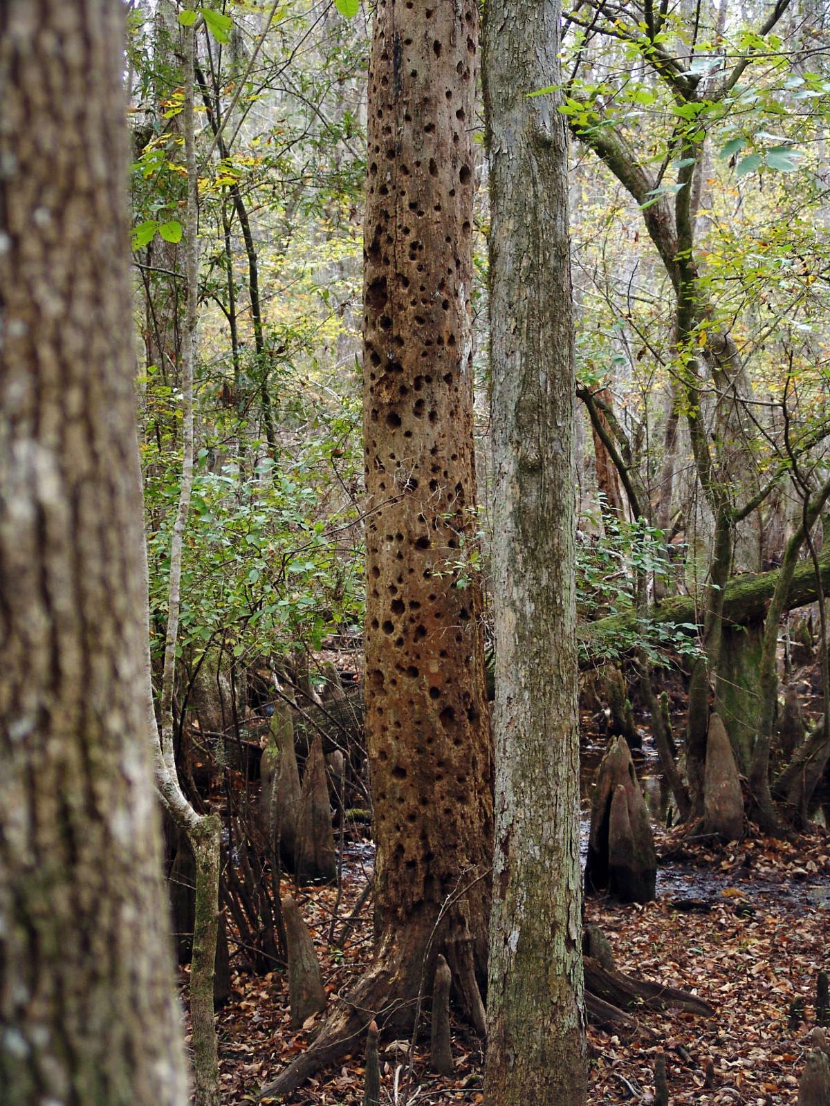 Conservation efforts at Four Holes Swamp could impact how Charleston ...
