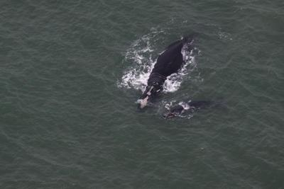 Rare Sightings of Endangered Whale Mother & Calf off SC Coast