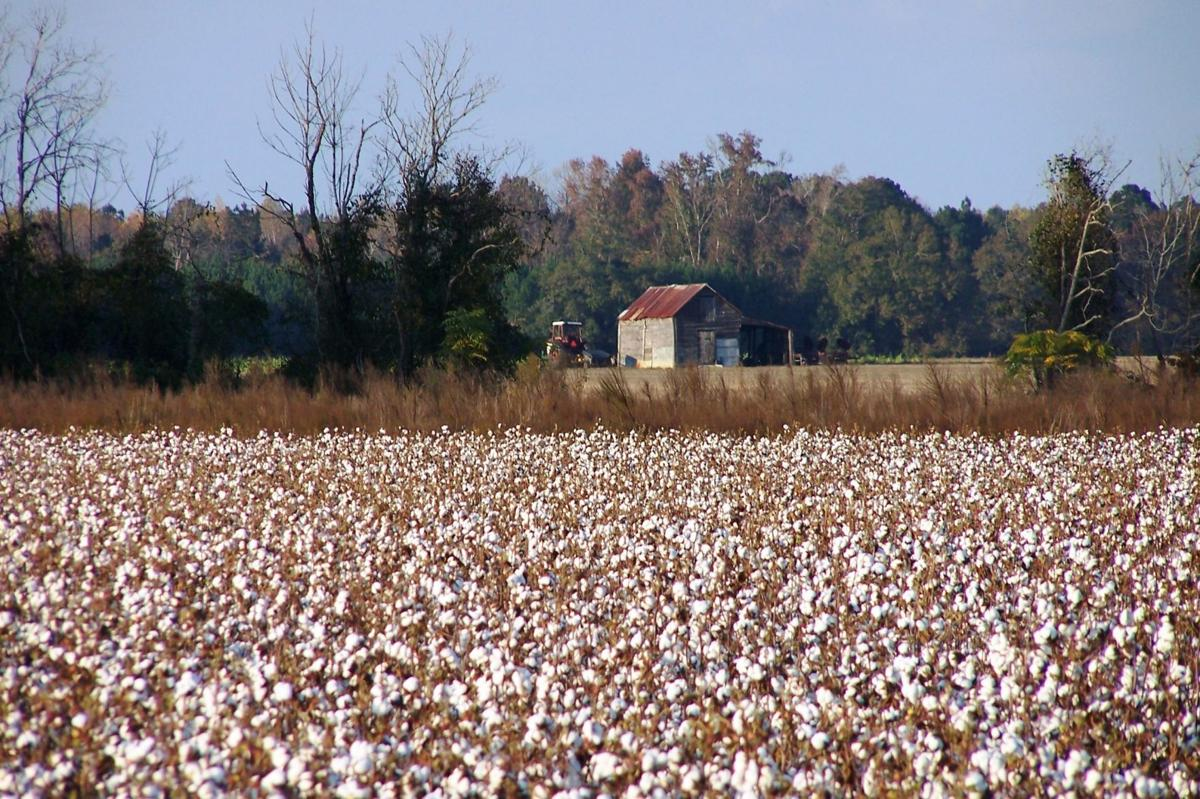 SC's cotton growers meeting to include 2015 crop forecast