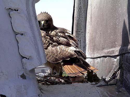 Hawks, chicks gone from church