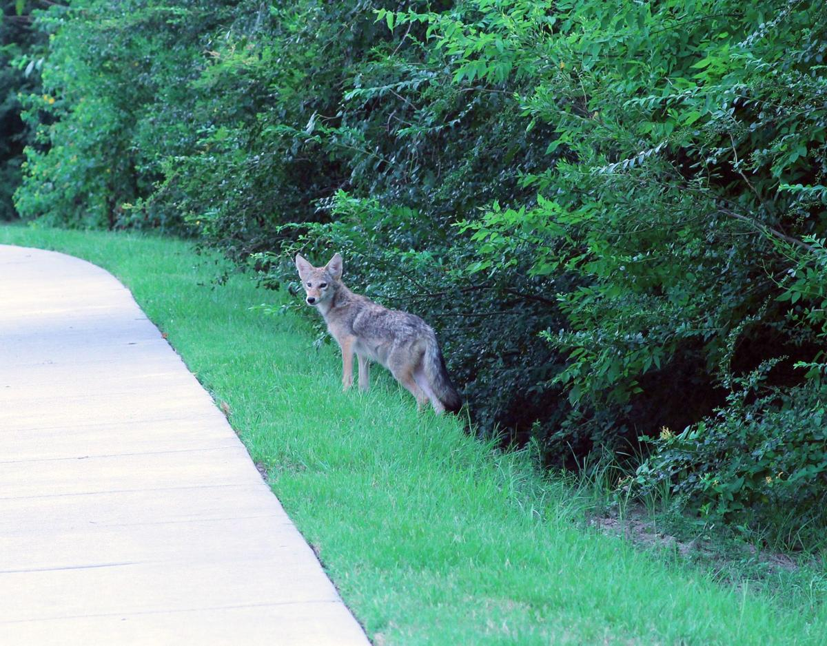 Patriots Point coyote makes an appearance