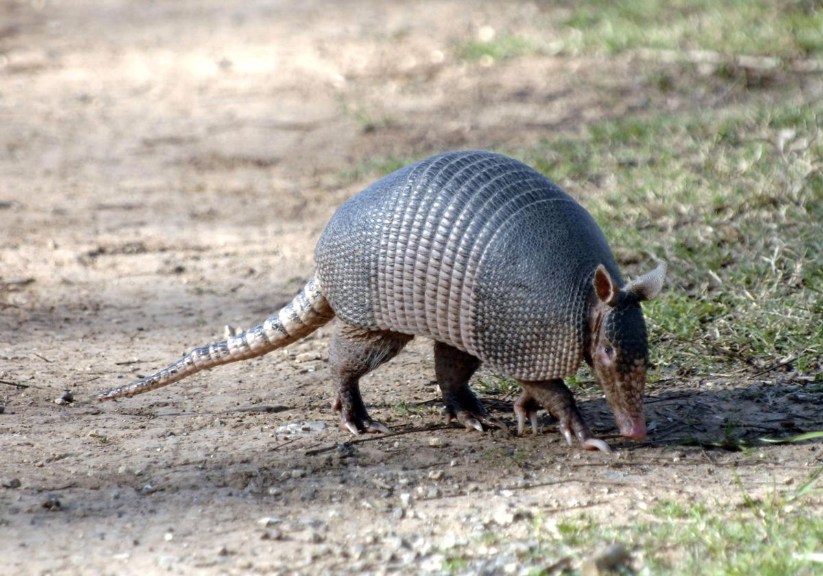 Armadillos take a chomp out of fire ants
