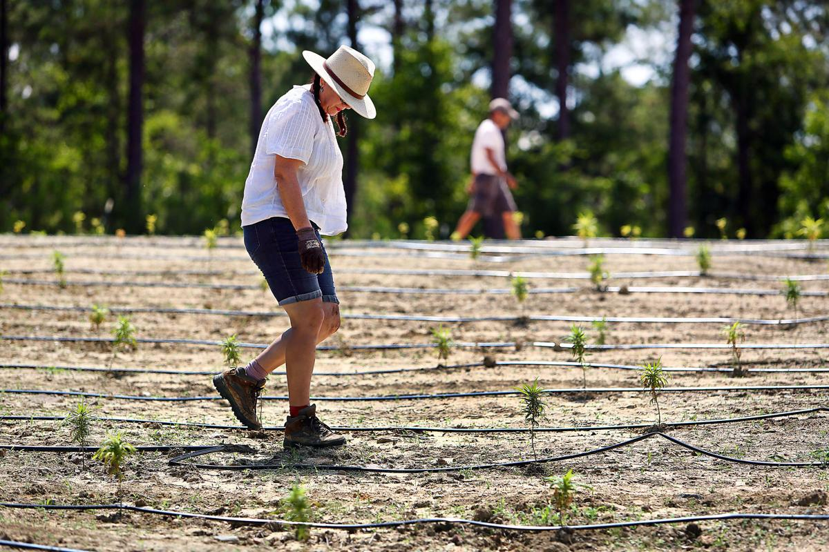 SC's first hemp farmers in generations facing challenges: 'There's