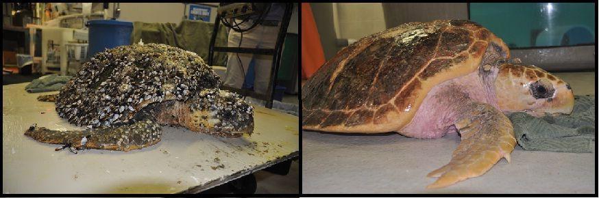 S.C. Aquarium to return two rehabilitated loggerhead sea turtles to sea Friday