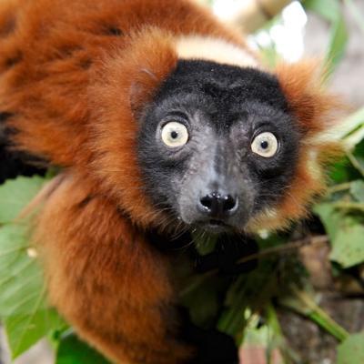 More lemurs to hang out at South Carolina Aquarium