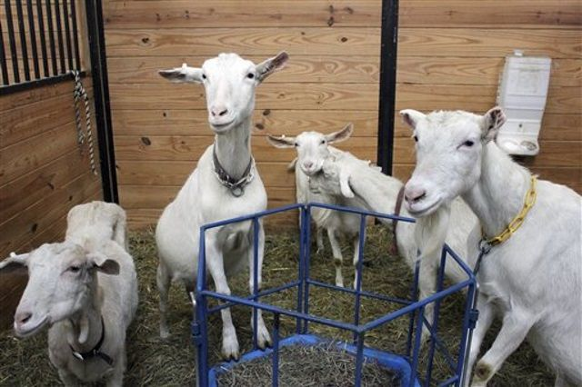 Pack of dogs kills dozens of goats in Sumter County