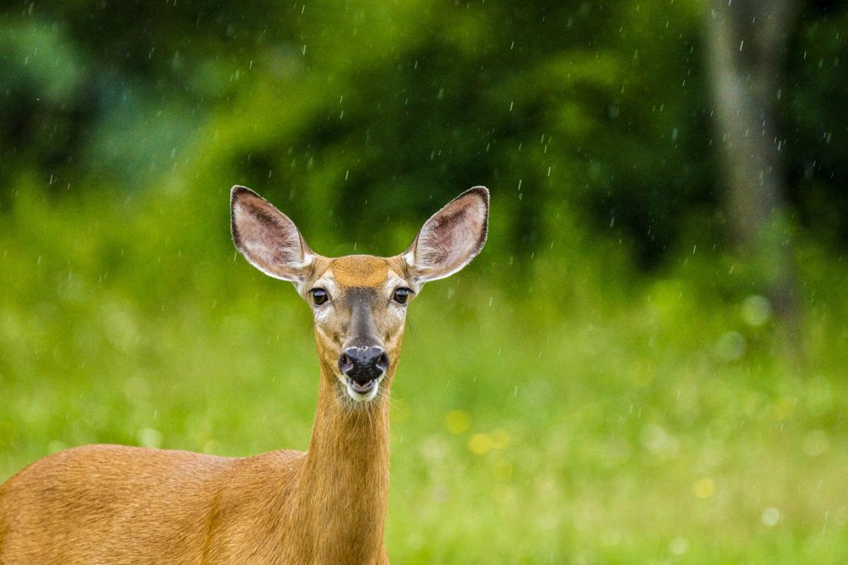 Deer (copy)