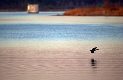 Stop cormorant shoots, judge tells regulators (copy)