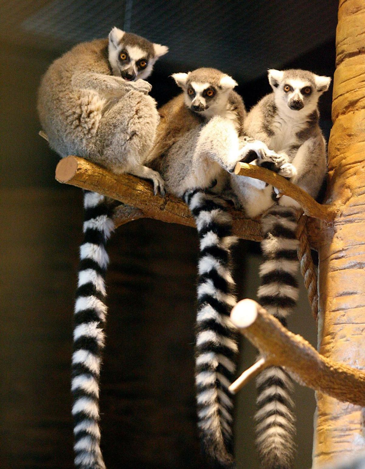 Hang out with lemurs