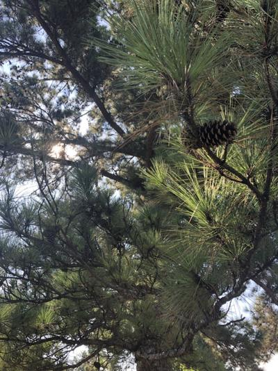 Some longleaf pine trees are shedding needles early this year