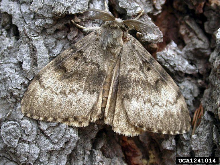 USDA lays traps for leaf-devouring invasive moths found in North Charleston