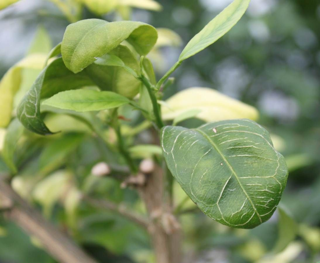 Citrus greening disease, 5 years after Charleston arrival