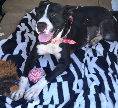 Foster family welcomes dog impaled by branch