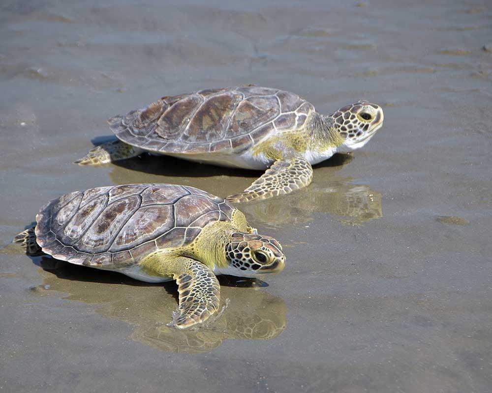Sea turtles returned to ocean