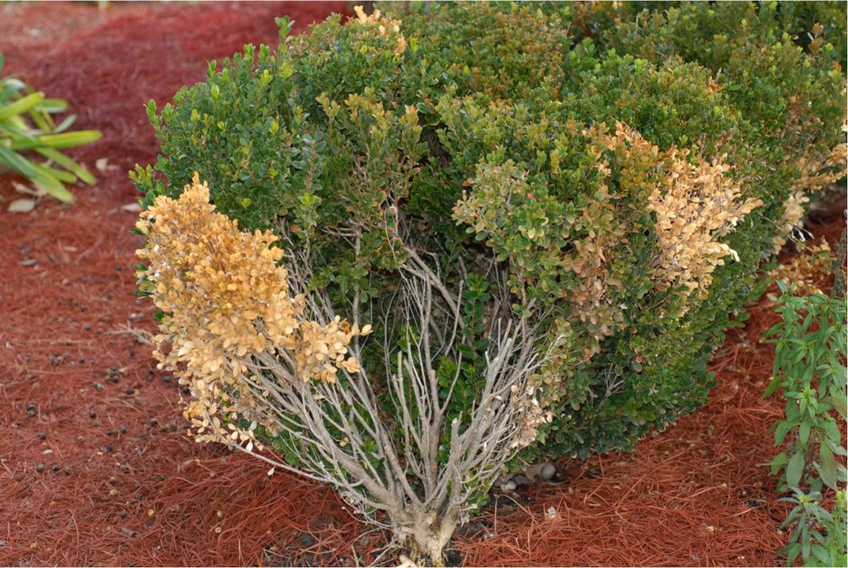 A case of the boxwood blues Fungal disease damaging plants