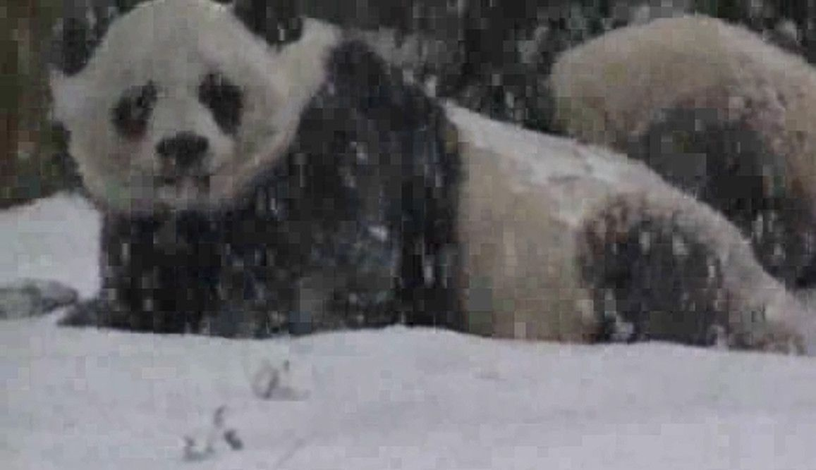 DC's panda cub Bao Bao melts hearts playing in first snow