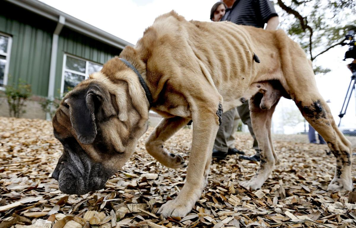 James Island man convicted of animal neglect after mastiff found malnourished, underweight