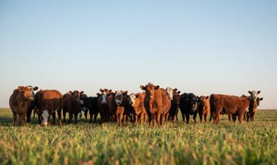 Herd of steers looking at camera
